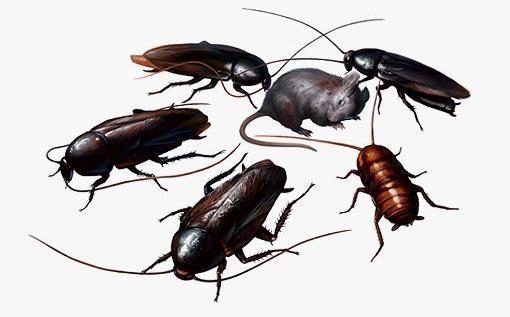 成都灭鼠除虫 白蚁知识问答图片